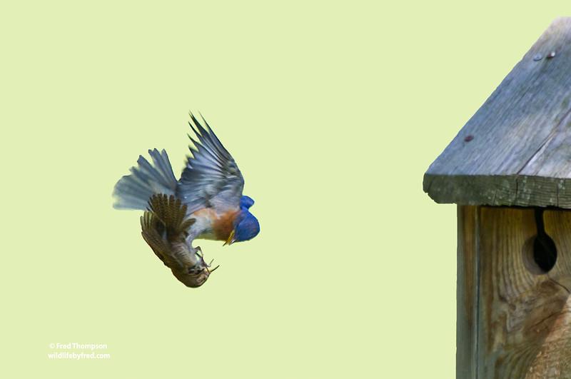 HOUSE WREN & BLUEBIRD FIGHTING