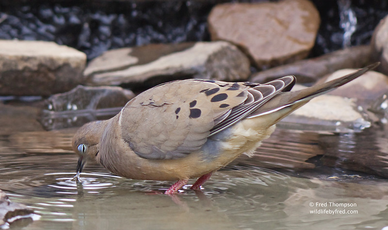 Close up of a Dove getting a drink from my new bird bath