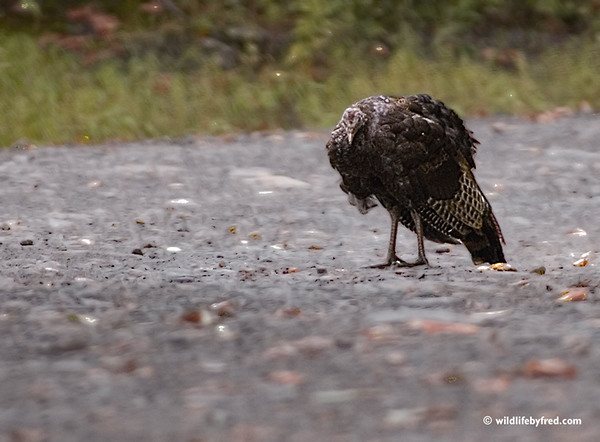 This hen turkey photo was taken in northern Pa., the turkey was on a dirt road on top of a mountain. This has to be the oldest turkey I have ever seen, she actually would walk a short piece and then tuck her head and close her eyes like she was taking a quick nap.