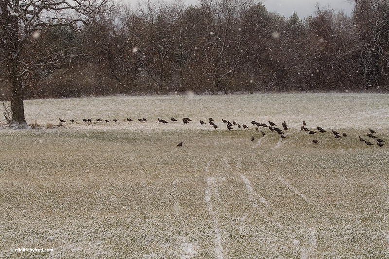 Flock of turkeys during the first snow of the year.