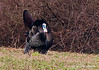 Eastern Wild Turkey, when I took this photo the wind was blowing so hard that the turkeys fanned tailed was pushing the turkey around. As you can see in the photo the tail is pushed on the back side.