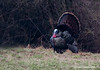 4108-TURKEYS1-048N