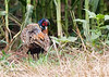 Ring- Necked  Pheasant