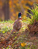 RING-NECKED PHEASANT--MALE