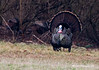 WILD TURKEY STRUTTING