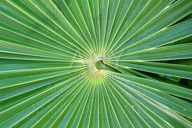 chit Florida Thatch Palm THRINAX RADIATA
