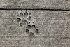 dog footprints printed in sidewalk concrete