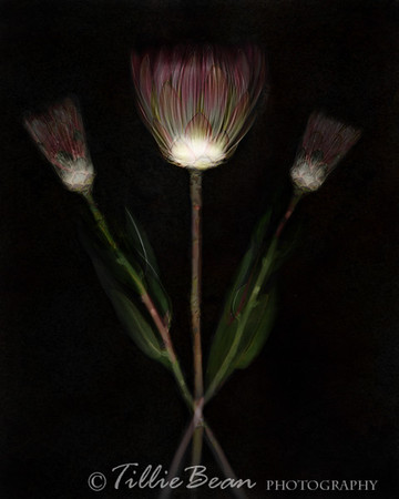 Tinted Flower X=ray