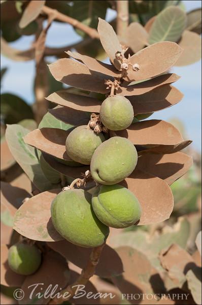 Calotropis procera. Apple of Sodom