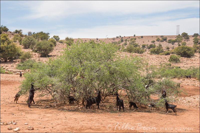 Goats eating from an Argan Tree