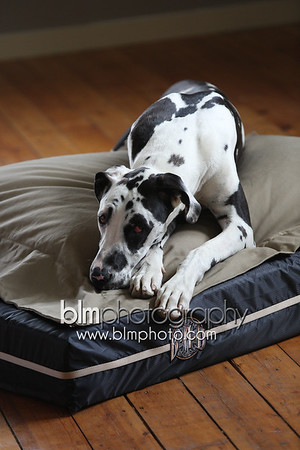 BAD-Dog-Beds-0675_05-26-16  by Brianna Morrissey  ©BLM Photography 2016
