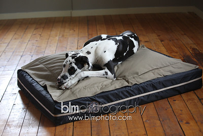 BAD-Dog-Beds-0687_05-26-16  by Brianna Morrissey  ©BLM Photography 2016