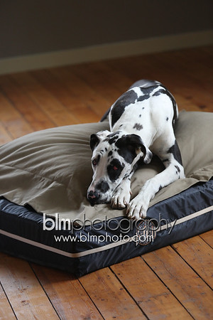 BAD-Dog-Beds-0674_05-26-16  by Brianna Morrissey  ©BLM Photography 2016