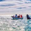 A spy-hopping Gray Whale, San Ignacio Lagoon