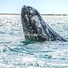 A spy hopping gray whale near a boat, San Ignacio Lagoon