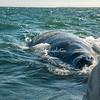 Gray Whale, San Ignacio Lagoon