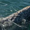 A barnacle-encrusted young gray whale calf, San Ignacio Lagoon