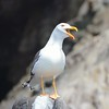 Laughing Yellow Footed Gull