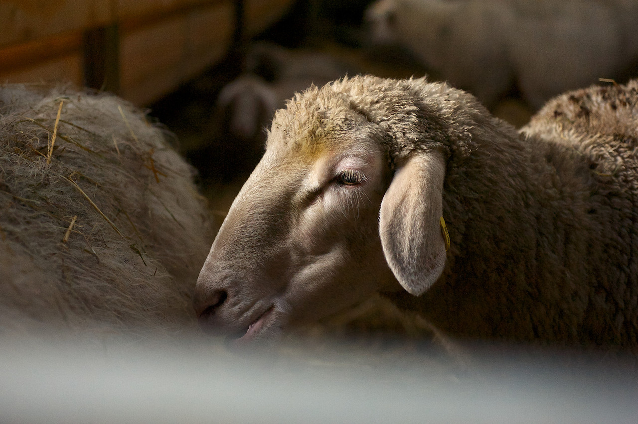Im Holzstadel als winterliche Schutzstallung für Mutterschafe