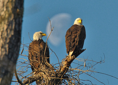 BALD EAGLES OF HARRIS CO.---4 GALLERIES