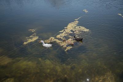 Wild ducks feed on algae in the man-made lake of the park.  Photo by Paul Kuroda