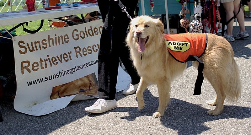 adopt golden retriever