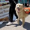 adopt golden retriever