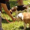 bulldog hotdog beagle