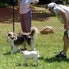 collie, b&w small dog (recall) 2