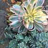 Aeonium 'Sunburst' & Senecio