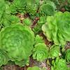 Aeonium  green