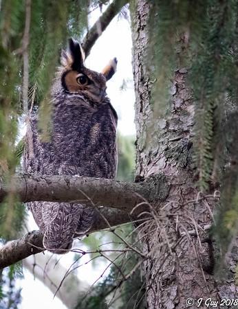 BARRED,SCREECH,GREAT HORNED OWLS