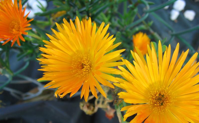 spikey flowers