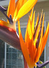 Bird of Paradise lit by the sun