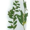 Acacia striatophylla