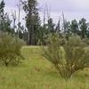 Acacia decora