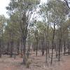 Acacia spania