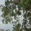 Corkwood wattle
