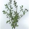 Acacia spectabilis