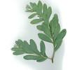 Acacia everistii