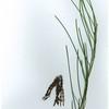 Acacia calantha