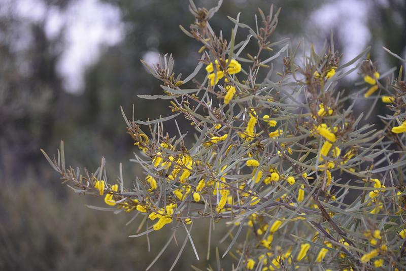 Acacia caroleae