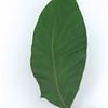 Acacia bancroftii