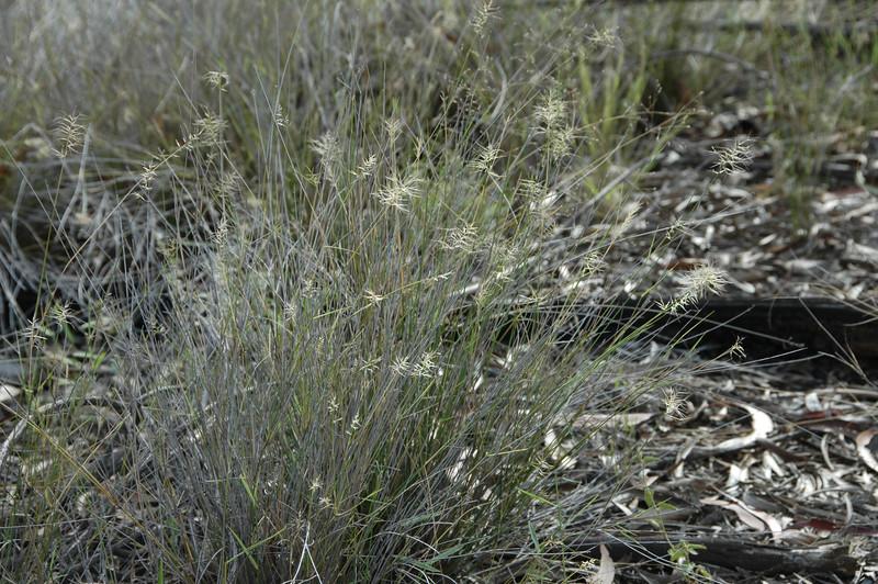 Three-awned grass