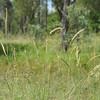 Bull Mitchell grass