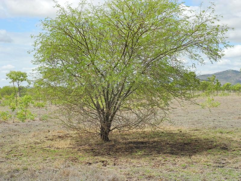 Prickly acacia
