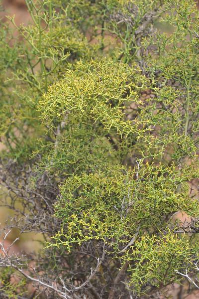 Psydrax vaccinifolium
