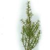 Apatophyllum teretifolium