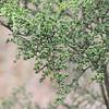 Psydrax vacinifolium
