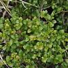 Currant bush